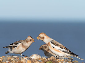 Snow Buntings Plectrophenax nivalis squabbling over food Salthouse North Norfolk winter