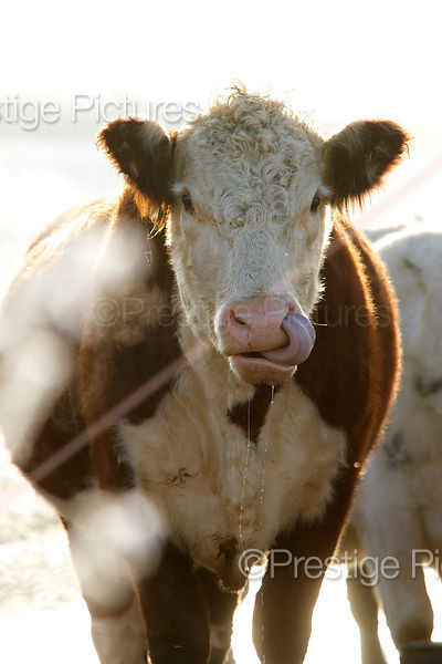 A Hereford cow with Tongue in Nostril