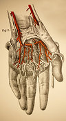 Ligaments and Veins of the Arm, Hand, Wrist