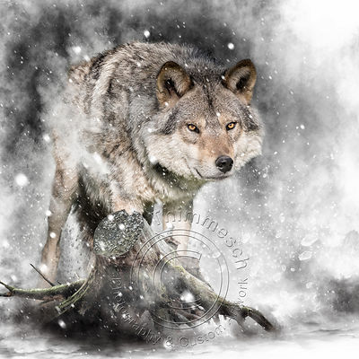 Art-Digital-Alain-Thimmesch-Loup-34