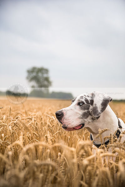 headshot of harlequin great dane dog with blue eyes in wheat field