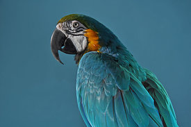 ACutting_parrot_0975