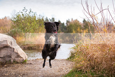 airborn black and white dog leaping with joy on riverbank