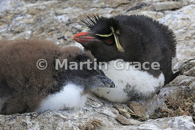 Young Southern Rockhopper Penguin (Eudyptes chrysocome chrysocome) on the nest, with one of its parents, Sea Lion Island, Falkland Islands