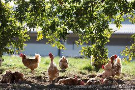 Nature animale chiens chats chevaux fauves oiseaux for Duree de vie des poules pondeuses