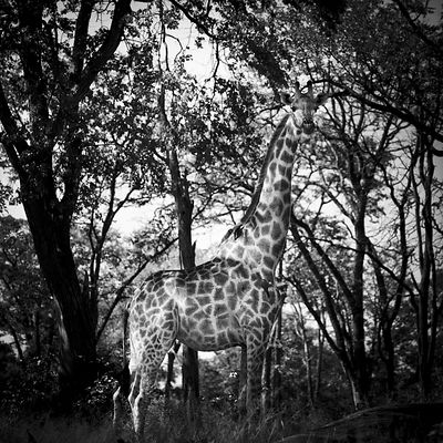 4701-Giraffe_in_the_leaves_Laurent_Baheux