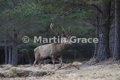 Red Deer stag (Cervus elaphus) in forestry, Badenoch & Strathspey, Scottish Highlands