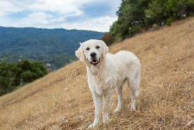 Smiling Cream Labrador Retriever on hill