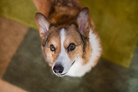Corgi looking up from green carpet
