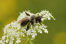 Andrena vaga sipping nectar on Anthriscus sylvestris