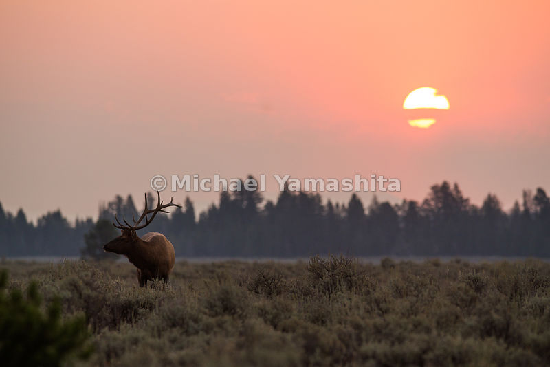 Bull Elk at sunrise along Teton Park Road. Grand Teton National Park, Wyoming...Jagged peaks of the Teton Range, lush meadows, dense forests and deep lakes, define this Park, which also teems with wildlife. Highest peak is 13,770ft., park encompasses 485sq. miles.