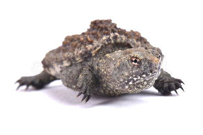 Common snapping turtle (Chelydra serpentina) photos