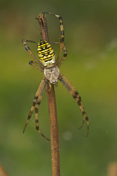 Argiope bruennichi - Wespenspin photos