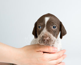 Close-up of pointer puppy held by womans hand