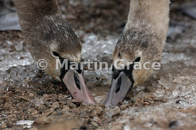 Two juvenile Mute Swans (Cygnus olor) dabbling in a puddle on an icy track, Leighton Moss, Lancashire, England
