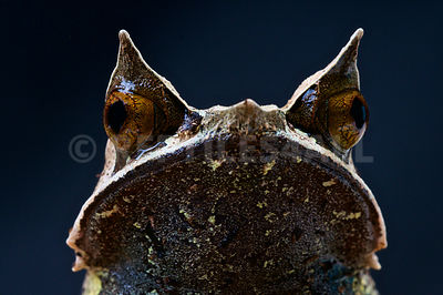 Malayan horned frog (Megophrys nasuta) photos