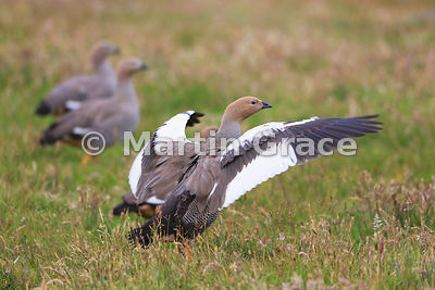 Ruddy-Headed Goose (Chloephaga rubidiceps) preparing to fly, Darwin, East Falkland