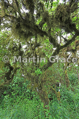 Tree Scalesia (Scalesia pedunculata) with endemic moss-like epiphytic lichen Bryopteris filicina (liebmanniana), Santa Cruz Highlands, Galapagos