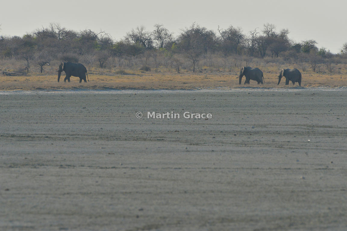 African Elephant (Loxodonta africana) beyond barren area of Etosha Salt Pan, Etosha National Park, Namibia