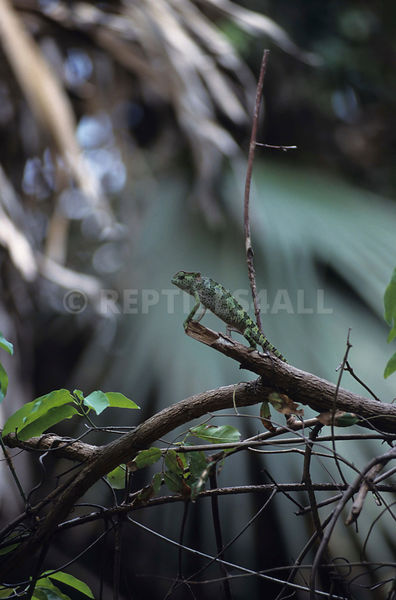 Graceful chameleon (Chamaeleo gracilis) photos