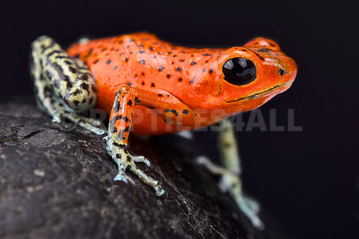 "Strawberry dart frog (Oophaga pumilio) ""Pico de Chriqui"" photos"