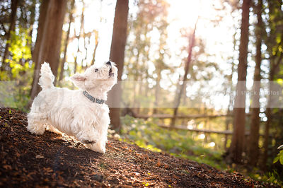 excited westhighland terrier dog barking on sunlit slope