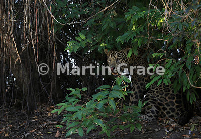 Male Jaguar (Panthera onca) known as Marley, River Cuiabá, Northern Pantanal, Mato Grosso, Brazil