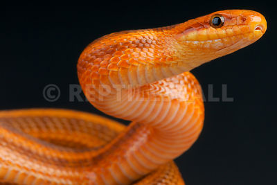 Diones ratsnake / Elaphe dione photos