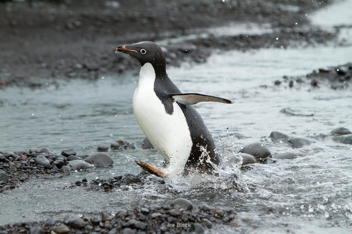 An adelie penguin playing around on the sea shore of the Antarctic Peninsula.