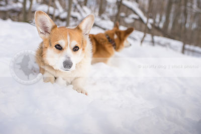 tired red and white corgi lying in winter snow staring