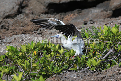 Red-Footed Booby (Sula sula) white morph exercising its wings before taking off from Red Mangrove (Rhizophora mangle), Darwin Beach, Genovesa, Galapagos Islands