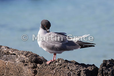 Swallow-Tailed Gull (Larus furcatus) preening, Darwin Beach, Genovesa, Galapagos Islands