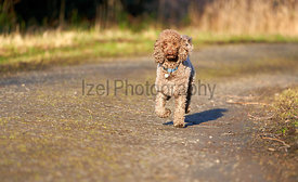 Brown Miniature Poodle walking along a country lane and having fun at sunset in the countryside