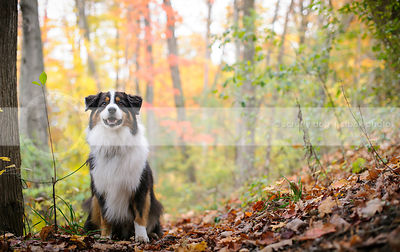 alert longhaired tricolor dog sitting on slope in autumn leaves