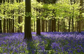 Bluebells, Delcombe Wood, Dorset, UK