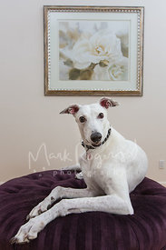 White greyhound posing with art