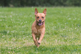 Pitbull Mix Dog Smiling and Running with Ears Up