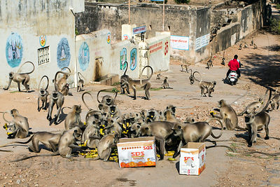 Monkeys devour a box of bananas at the Panch Kund temple complex, Pushkar, Rajasthan, India