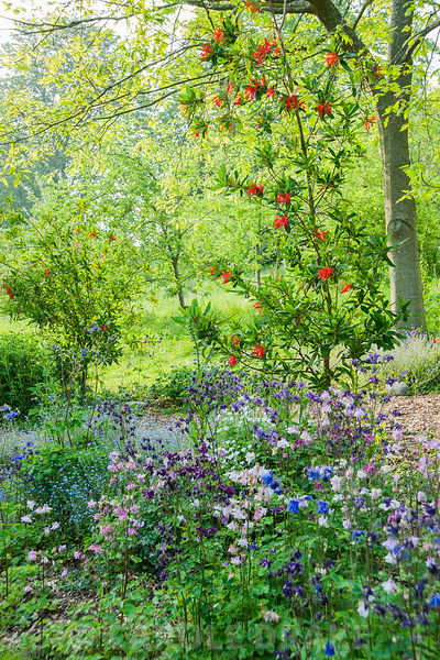 Embothrium coccineum, the Chilean firebush, surrounded by self seeded aquilegias and forget-me-nots, below an avenue of red oaks, Quercus coccinea. The Old Rectory, Netherbury, Dorset, UK