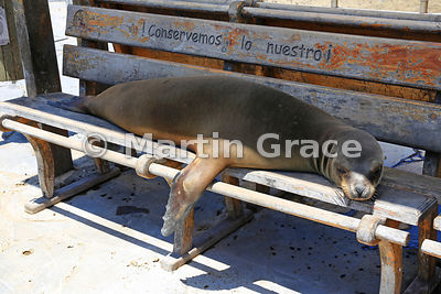 Galapagos Sea Lion (Zalophus californianus wollebacki or wollebaeki) sleeping on a bench beneath the slogan 'Conservemos lo nuestro' (Let us conserve what is ours), Puerto Baquerizo Moreno harbour, San Cristobal, Galapagos