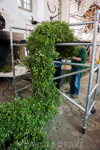 The pittopsorum garland is temporarily supported on scaffolding as it grows in length, as more pittosporum is attached to the 60 feet rope at its centre. Cotehele, St Dominick, nr Saltash, Cornwall, UK