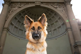 German Shepherd Mix Dog With Large Ears in Front of Domed Bandshell