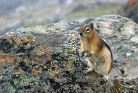 June - Golden-mantled Ground Squirrel