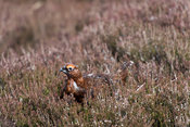 Red grouse, Lagopus lagopus scotica, displaying on moorland in North Yorkshire in spring as males establish a territory.