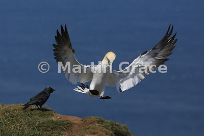 Sub-adult (4th-year) Northern Gannet (Morus bassanus) in flight, about to land, and being watched by a Western Jackdaw (Corvus monedula), Bempton Cliffs (RSPB), East Riding of Yorkshire, England