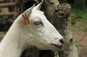 Head view of a white dairy goat, Kampala, Uganda, Africa