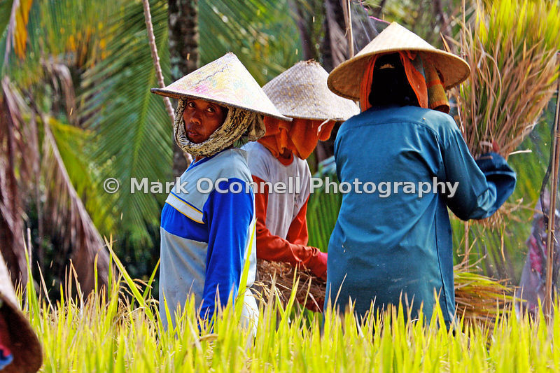 Workers in the rice fields