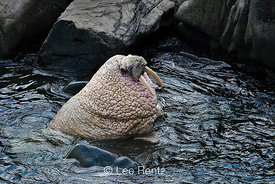 Pacific Walrus male pale after deep diving in cold ocean