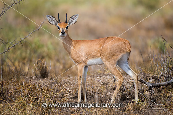 Steenbok, Raphicerus campestris, Kruger National Park, South Africa