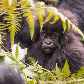 Gorillas wildlife photos